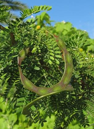 gousses-Acacia-Vachellia-karroo