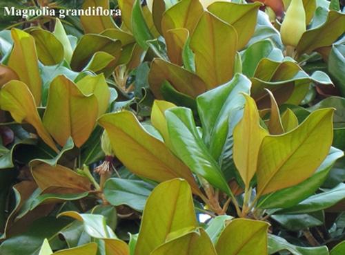 feuilles Magnolia grandiflora