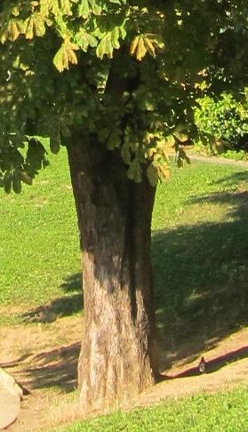 tronc marronnier