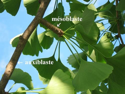 mésoblaste et auxiblaste