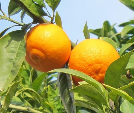 mamelon d'oranges