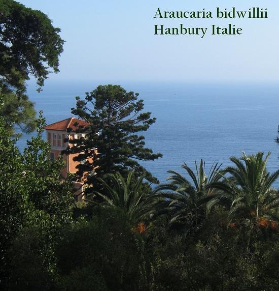 Araucaria bidwillii Hanbury Italie