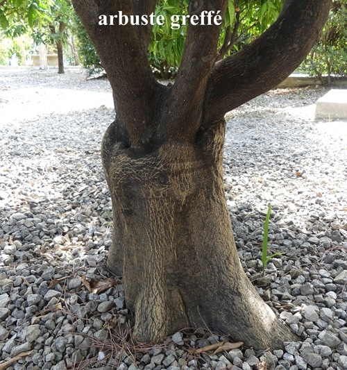 agrume greffé