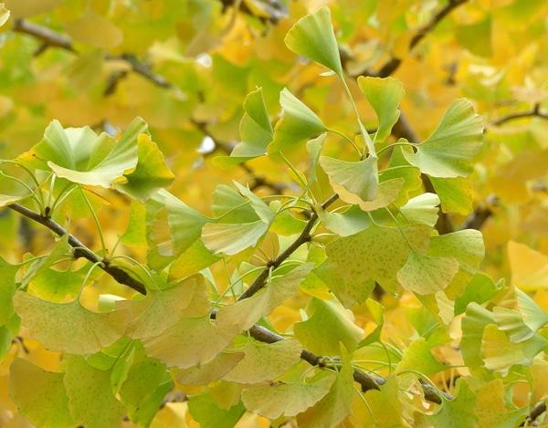 feuilles Ginkgo