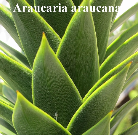 feuilles Araucaria araucana