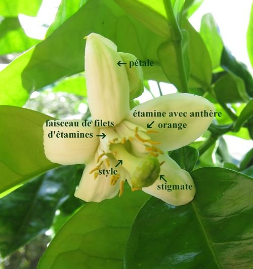 stigmate agrume