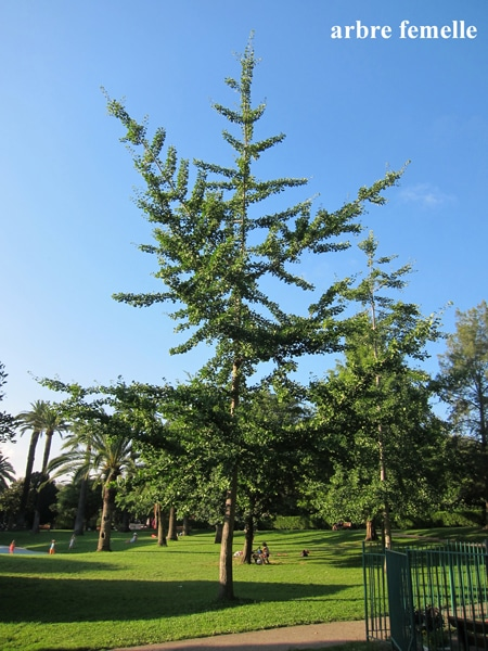 Ginkgo arbre femelle