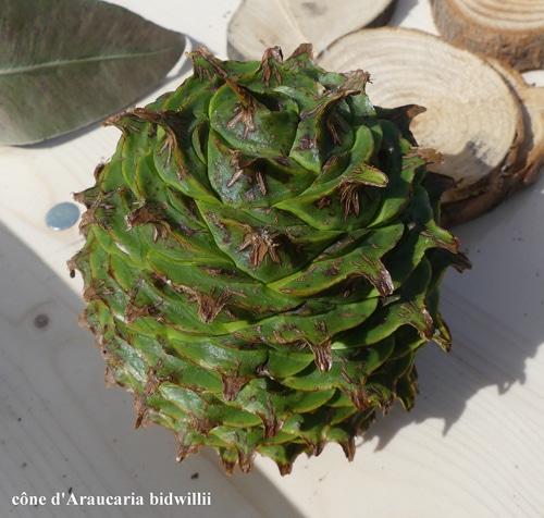 cône Araucaria bidwillii