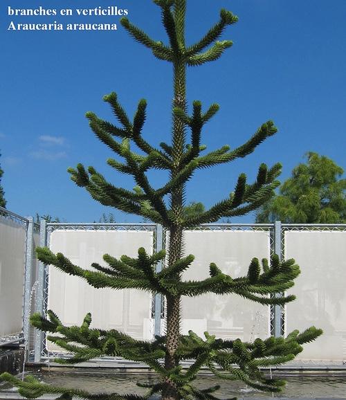 verticilles Araucaria araucana