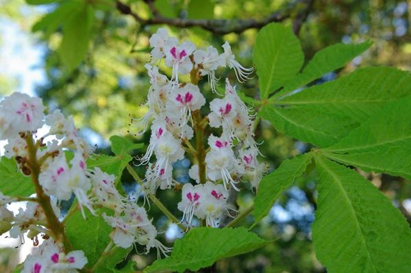 fleurs marronnier d'Inde