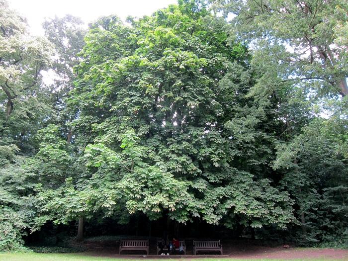 marronnier d'Inde Holland Park London