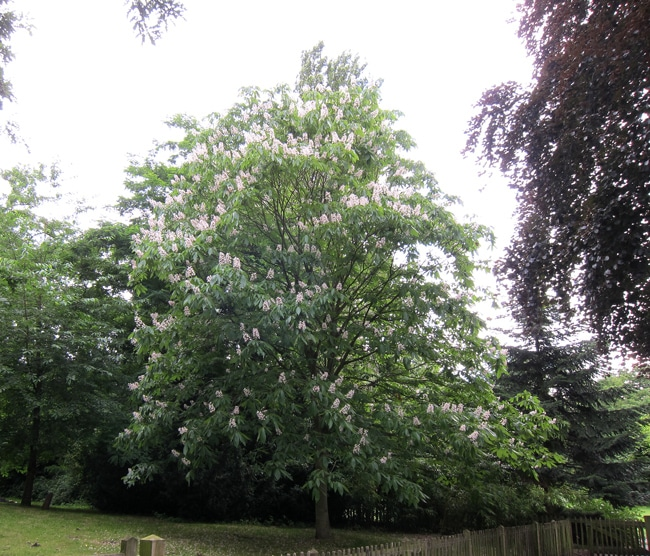 Marronnier d'Inde - Aesculus hippocastanum - Holland Park London