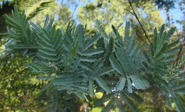 feuillage-Acacia-dealbata