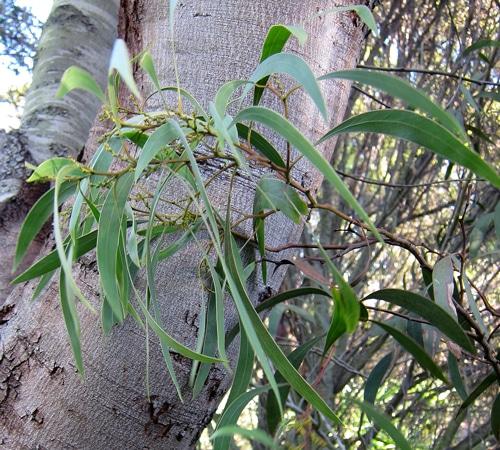 phyllodes-Acacia-pycnantha