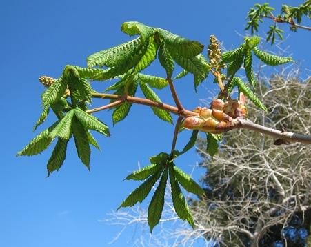 feuilles Aesculus x carnea