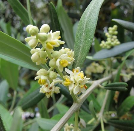 panicule fleurs olivier