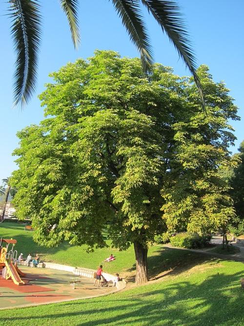 marronnier - Aesculus hippocastanum au Castel des deux Rois à Nice