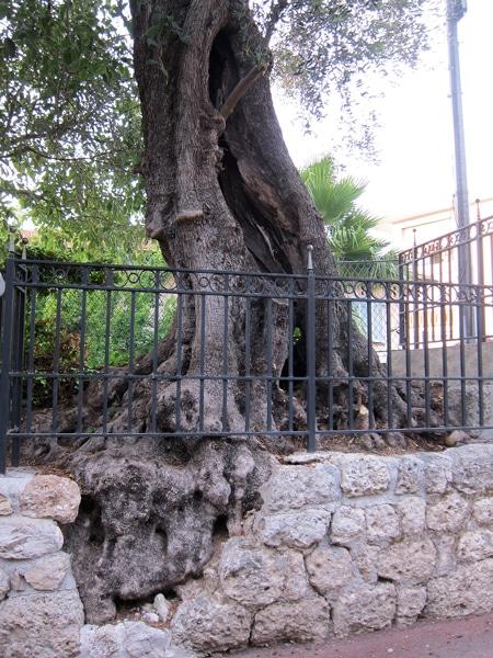 tronc olivier Castel des deux Rois Nice 06