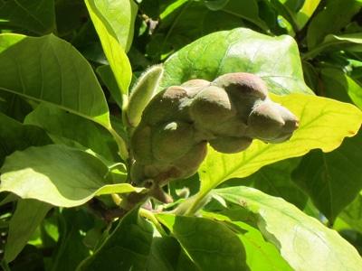 follicule globuleux Magnolia