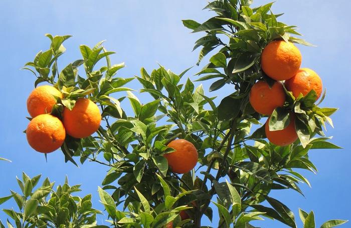 oranger sur la Côte d'Azur