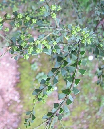 phyllodes-Acacia-truncata