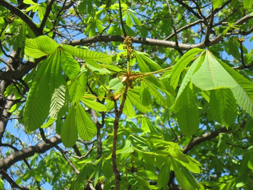 feuilles marronnier d'Inde