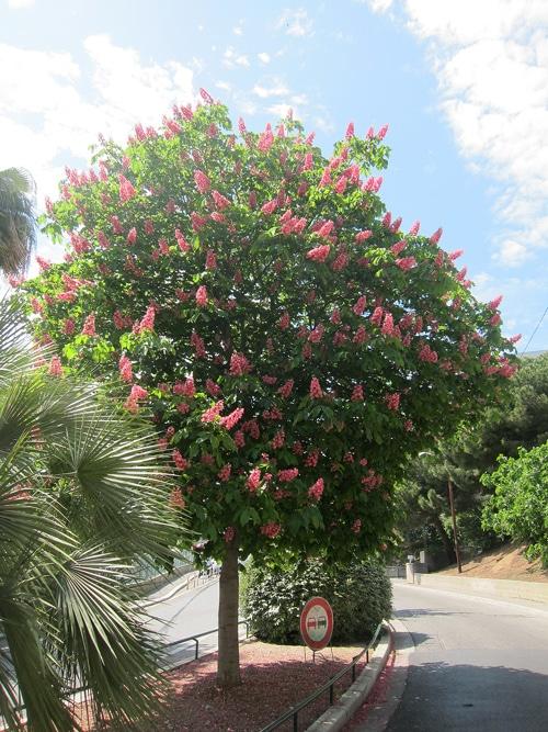 marronnier rouge - Aesculus x carnea