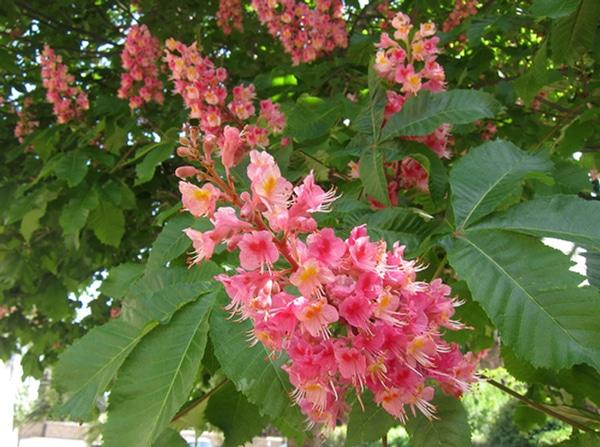 inflorescences marronnier rouge