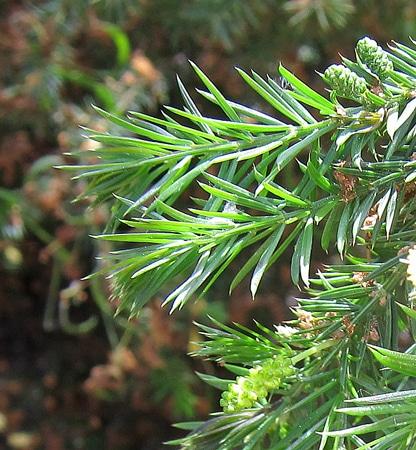 feuillage-en-aiguilles-Acacia-verticillata
