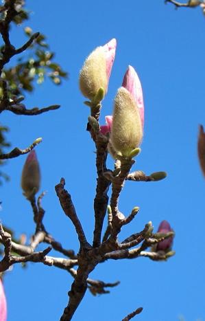 bourgeon Magnolia soulangeana