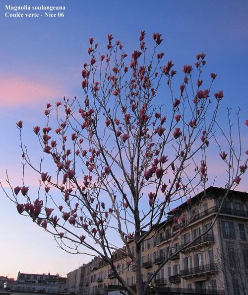 Magnolia soulangeana coulée verte à Nice