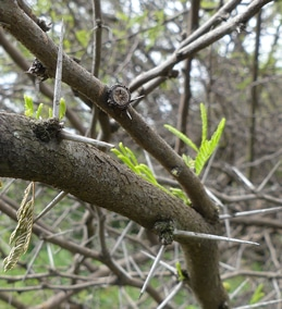 épines-Acacia-Vachellia-farnesiana