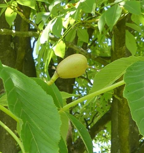fruit Aesculus flava
