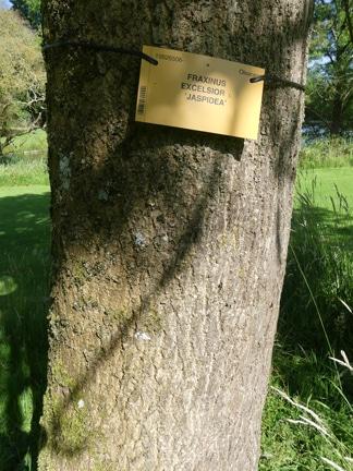 écorce Fraxinus excelsior 'jaspidea'