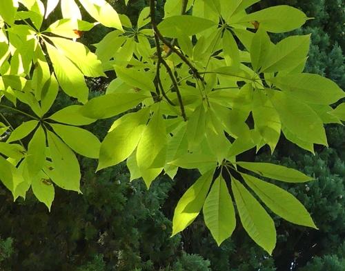 folioles pétiolées - Aesculus indica