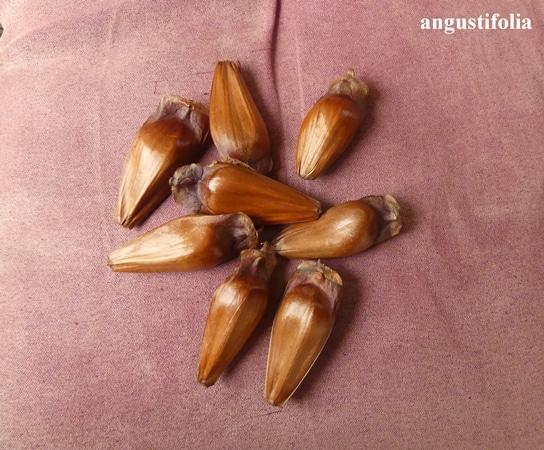 graines Parana pine