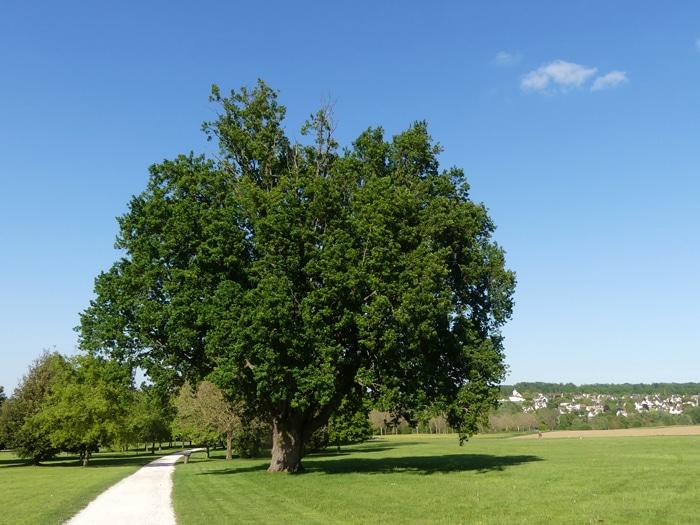 Quercus robur Parc de Rentilly Seine et Marne