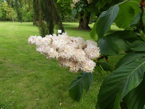 fleurs doubles de marronnier