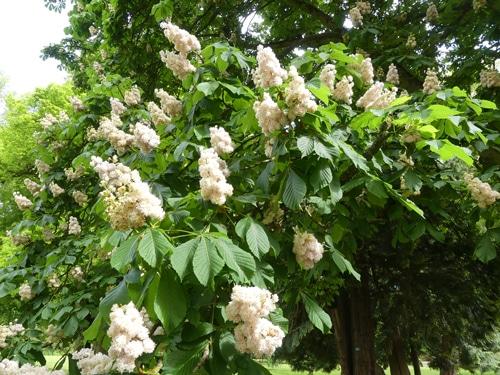 inflorescences Aesculus hippocastanum 'Baumannii'