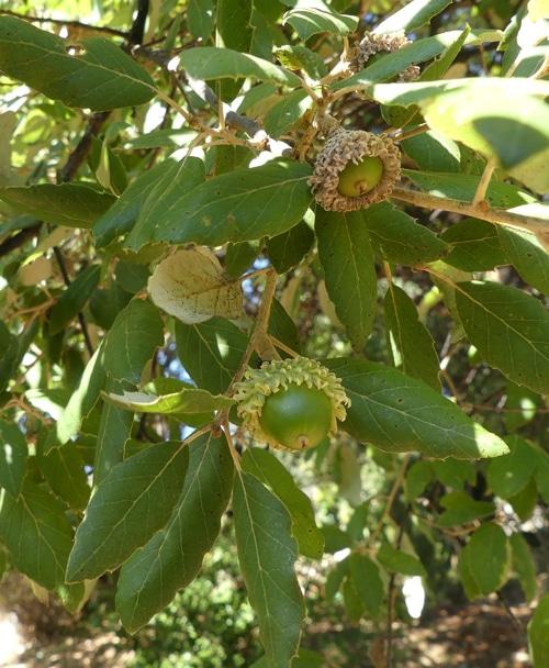 glands du chêne liège