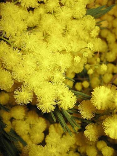fleurs-en-glomérules-sphériques-d'Acacia