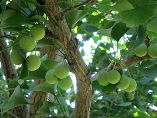 fruit ginkgo sarcotesta