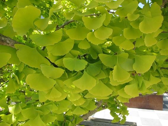 feuilles-Ginkgo-biloba-Dila