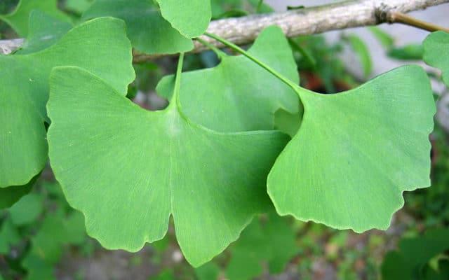 ginkgo-biloba-feuilles