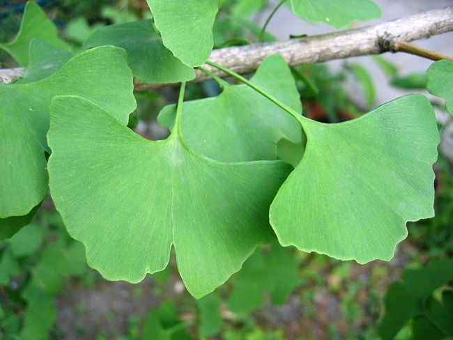 Ginkgo biloba |  The People Next Door