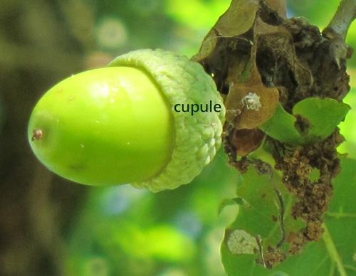 gland chêne pédonculé
