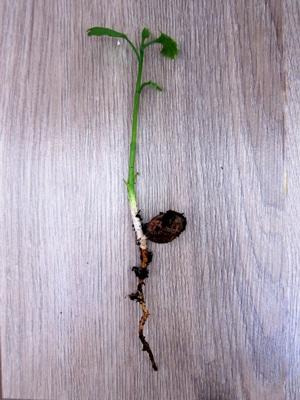 plantule Ginkgo
