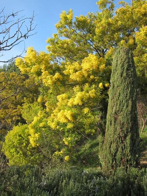 Mimosa vers-St-Raphaël