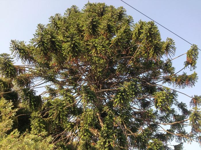 Bunya pine Pallanca italie