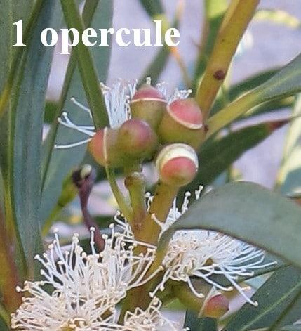 opercule Eucalyptus parvula